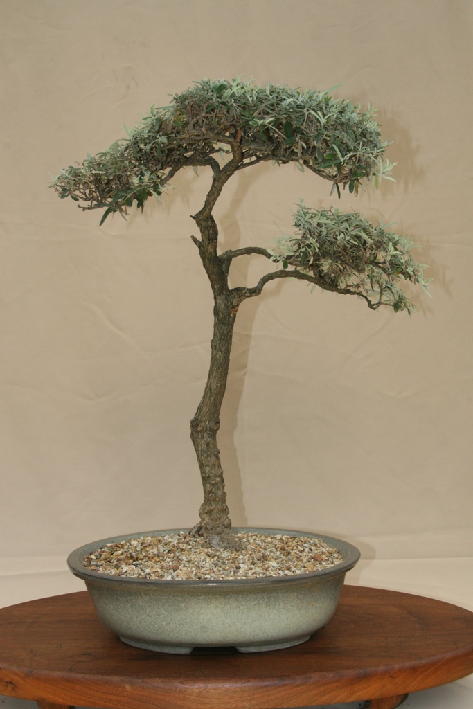 Bonsai in the western cape south africa stone lantern for Literati bonsai gallery