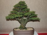 Oyama Bonsai kai show 2014, Cork bark elm, Ulmus parvifolia, Owner Freddie Bisschoff, training since 1987