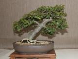Oyama Bonsai kai show 2014, Ficus burtt davyii