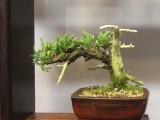 Oyama Bonsai kai show 2014, mame, juniper