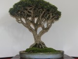 Oyama Bonsai kai show 2014, Wild Olive, Olea europaea subsp africana, Owner Thys Klem, training since 1971
