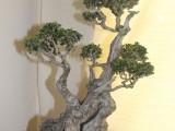 Oyama Bonsai kai show 2014, Wild Olive, Olea europaea subsp africana, Owner Thys Klem, training since 1985