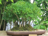 Boland bonsai show 2014 - Chinese maple forest