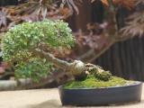 Boland bonsai show 2014 - Ficus burtt-davyi