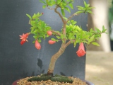 Boland bonsai show 2014 - Punica granatum nana - 8 years old - Johan Morkel