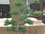 Boland bonsai show 2014 - juniper cascade